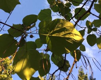 Krankheiten beim Trompetenbaum