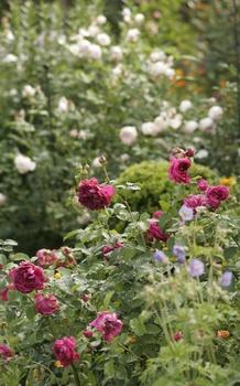 Rosenbeet anlegen - Standort, Boden und die schönsten Begleiter