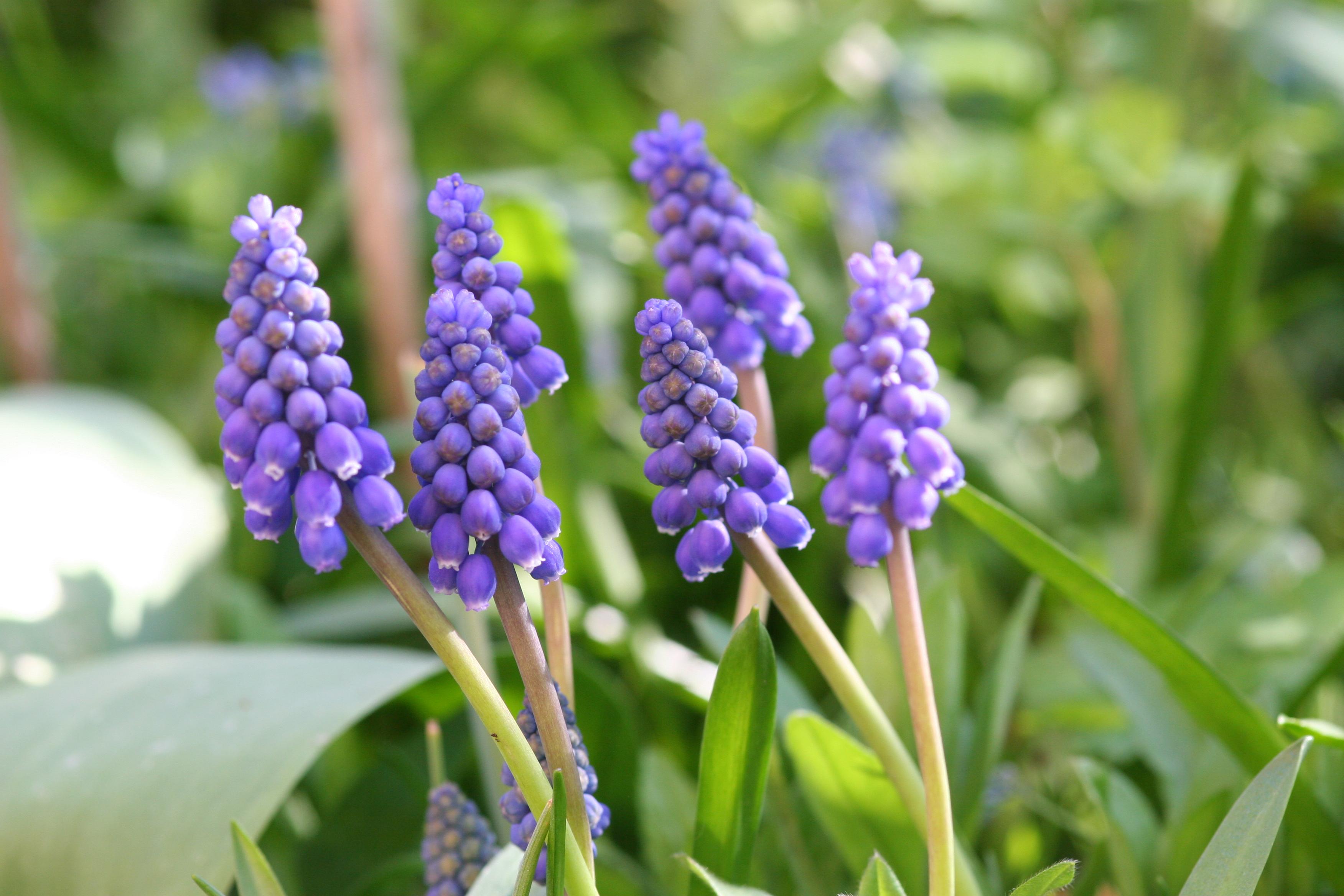 Zwiebelblumen im Frühjahr pflegen und gut kombinieren