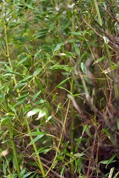 Bambus richtig schneiden