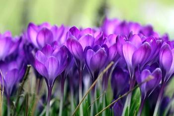 Jetzt vorbereiten: Frühlingsblumen drei Monate lang im Topf genießen