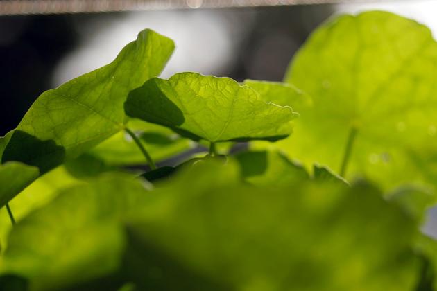 Kapuzinerkresse-Pesto selber machen