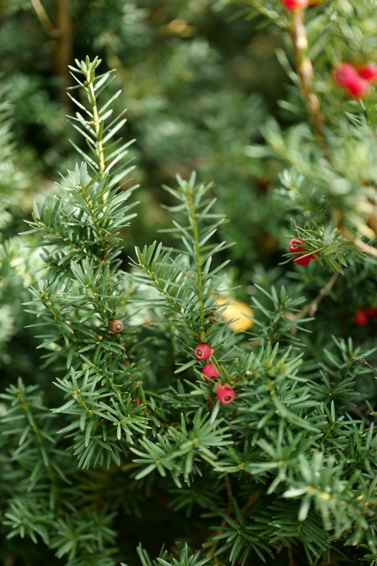 Eiben Pflanzen Und Pflegen