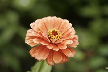 Zinnien – robuste Sommerblumen für den Spätsommer