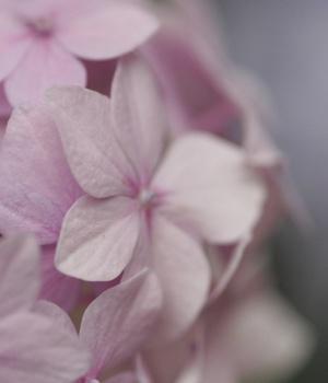 Hortensien richtig pflanzen und pflegen