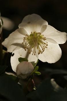 Christrosen - die Schneekönigin unter den Blumen