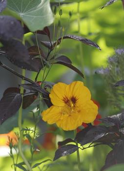 Kapuzinerkresse für jeden Garten