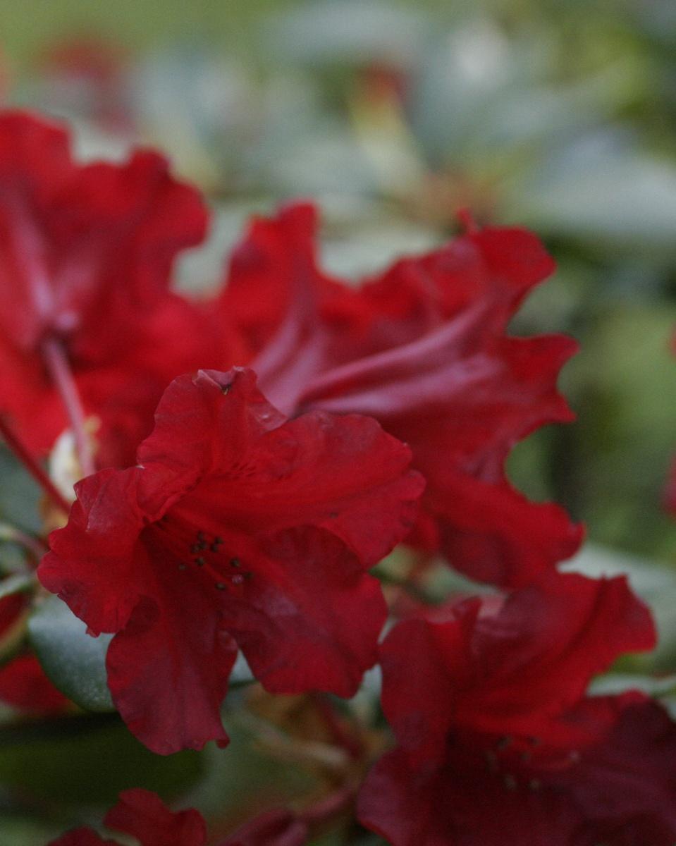 Freudengarten rhododendron tipps zum pflanzen pflegen for Rhododendron pflanzen