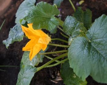 Zucchini: Tolle Pflanze fürs  Gemüsebeet