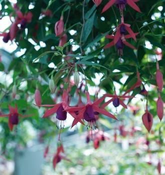 Fuchsien – Dauerblüher für Balkon und Terrasse