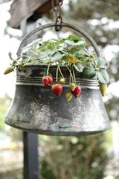 Erdbeeren aus dem Balkon oder der Terrasse anbauen