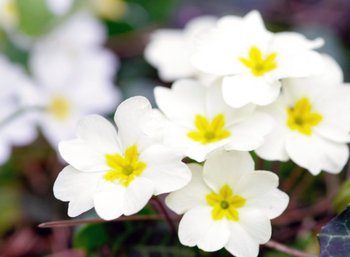 Primeln - eine der  ersten Blüten im Garten
