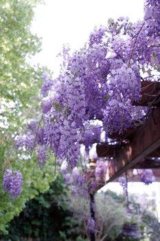 Blauregen (Wisteria) - Blütenwunder im Frühjahr