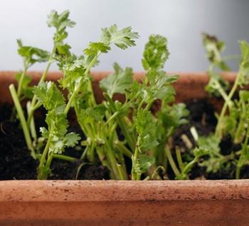 Korianderpflanzen aus dem Asienladen