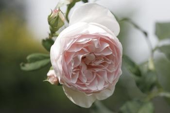 Wie Du ein Rosenbeet anlegst