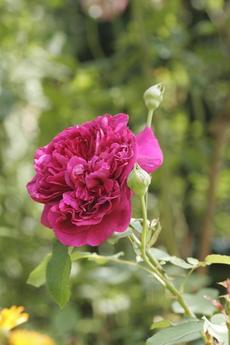 Einen rosengarten anlegen for Gartenidee beet