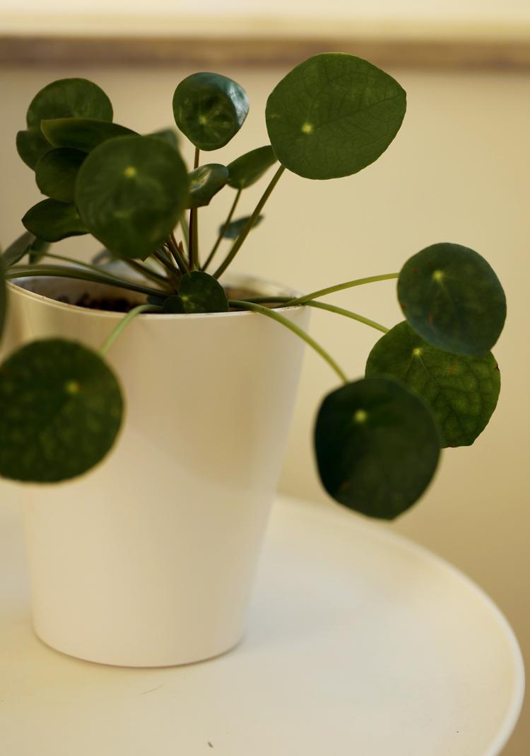 Ufopflanze (Pilea peperomioides) pflanzen und pflegen