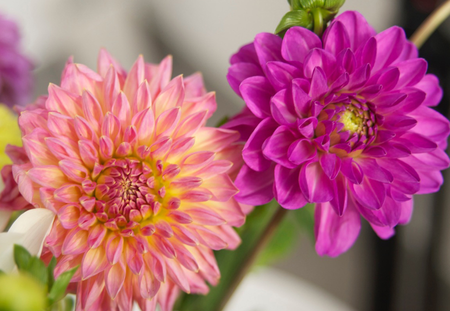 Dahlien im Topf vorziehen und richtig in den Garten pflanzen