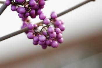 Liebesperlenstrauch, Schönfrucht oder Callicarpa giraldi