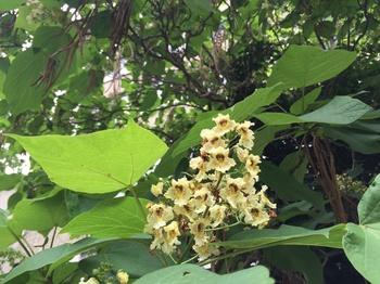 Gewöhnlicher Trompetenbaum für den Garten