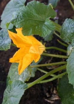 Zucchini anbauen, pflanzen, pflegen, Standort