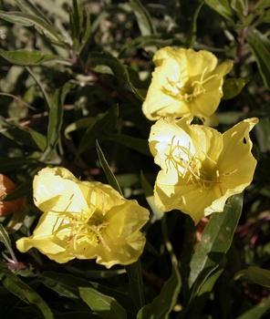 Sommerblume für Nachtschwärmer: die Nachtkerze