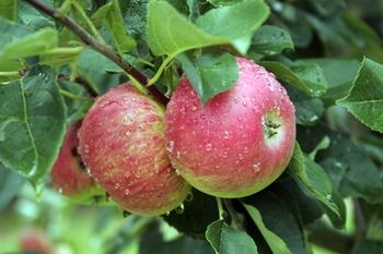 Alte Apfelsorten entdecken!