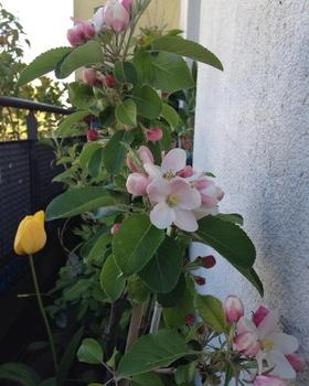 Im Herbst kann ich Äpfel auf dem Bio-Balkon ernten -  ich bin in Vorfreude