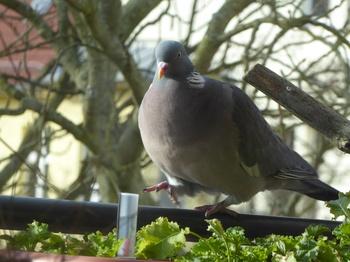 Taube zu Gast auf dem Bio-Balkon