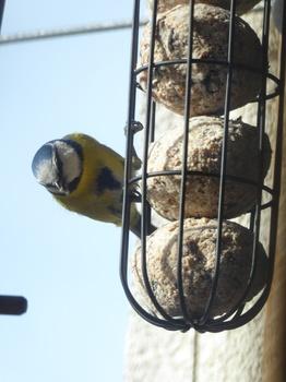 Was ist das ideale Vogelfutter? MEISENKNÖDEL