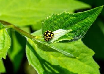 Wertvolle Nützlinge gegen Blattläuse und Echten Mehltau