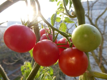 Balkontomaten in November-Herbstsonne