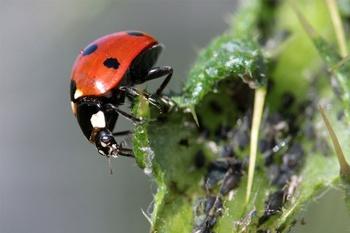 Blattläusen umweltschonend den Kampf ansagen!