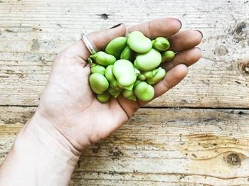 Dicke Bohnen Pflanzenportrait