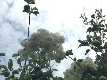 Ramblerrose 2