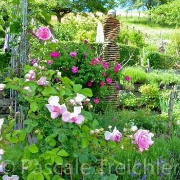 Rosen im Juni-Garten