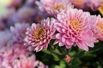 Chrysanthemen verzaubern im Herbst