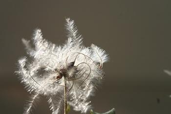 Clematis - auch im Herbst wunderschön