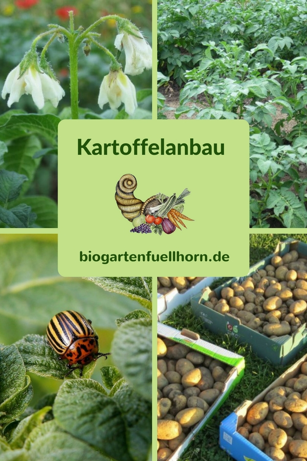Kartoffelanbau im Biogarten