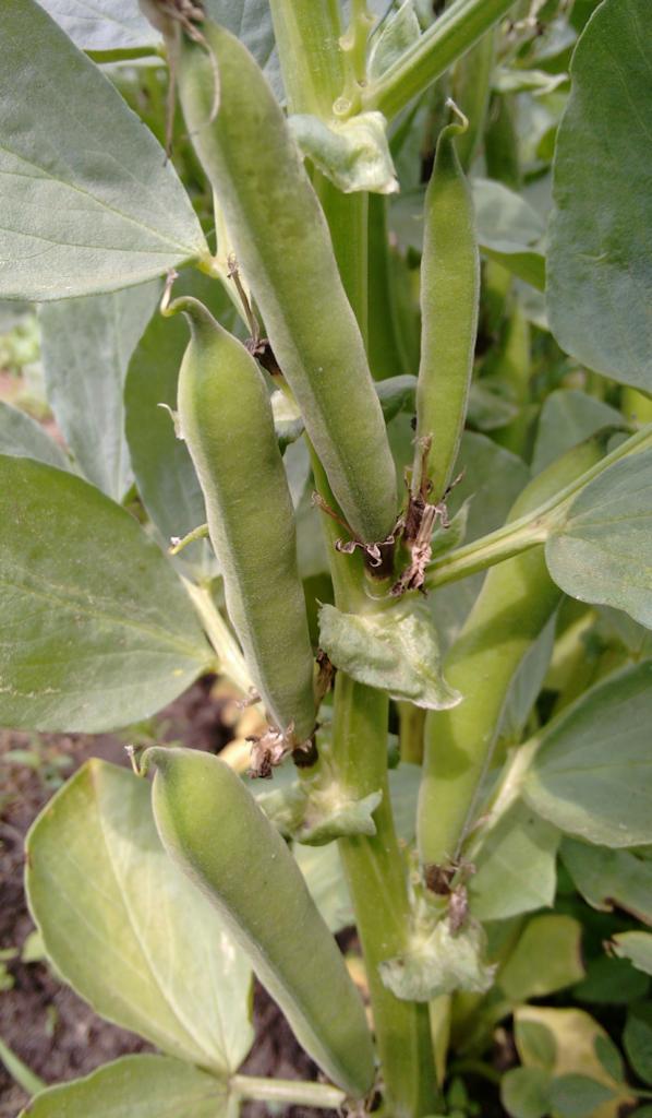 Anbau von Puffbohnen
