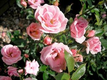 Rosen schneiden - aber richtig