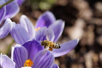 """Frühblüher – """"Insektenbuffet"""" für hungrige Bestäuber & einen schönen Garten"""