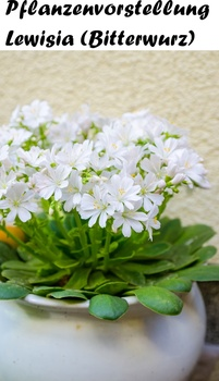 Pflanzenvorstellung Lewisia oder Bitterwurz
