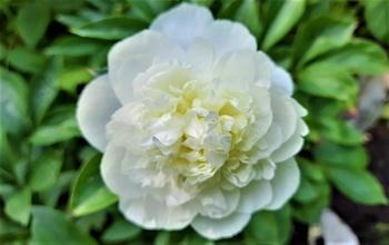 Weiß im Garten