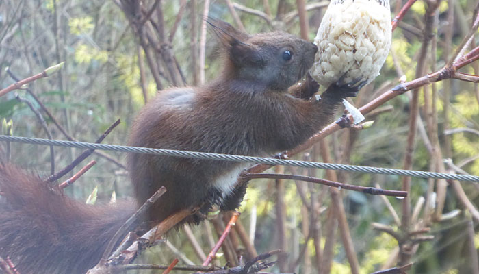 Eichhörnchen: Besuch an der Erdnuss Bar