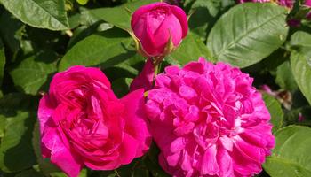 Eine ganz Besondere: Die Rose de Resht
