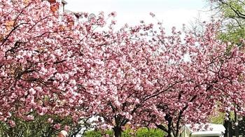 Kirschblüten-Hanami in Berlin: Jetzt nach Japan ohne Jetlag!