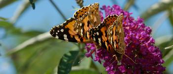 Hoffnungsschimmer am Schmetterlingsflieder