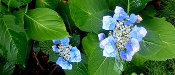 Die blaue Hortensie ist wieder blau geworden!