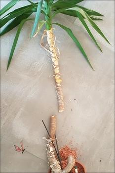 So vermehrt man eine Palme